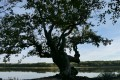 monique_f arbre fantome